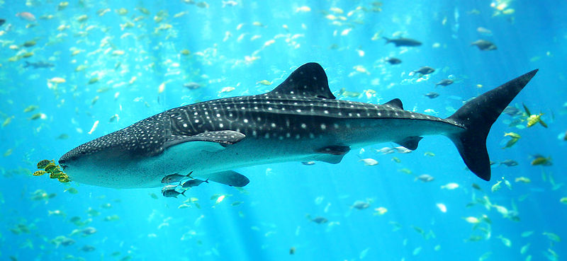 800px-Whale_shark_Georgia_aquarium